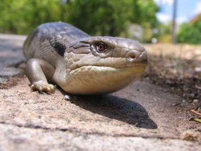 4_Eastern_Bluetongue_Lizard__photo_courtesy_BioCity