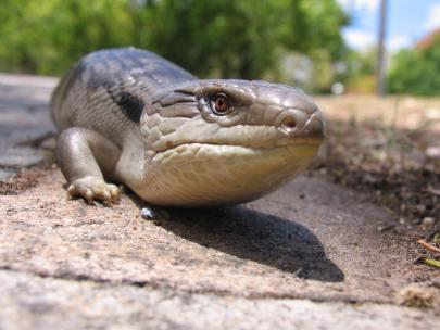 4_Eastern_Bluetongue_Lizard__photo_courtesy_BioCity