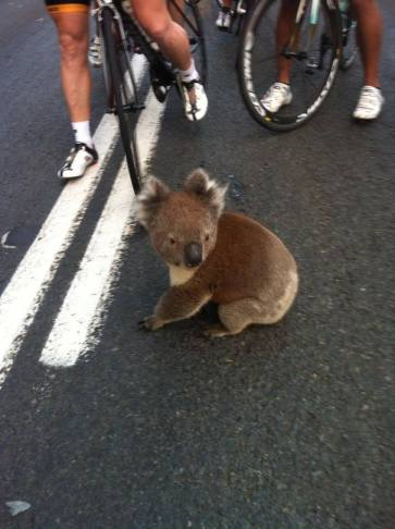 This is no set-up. Adelaide's koalas really do this!